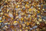 Fallen golden leaves